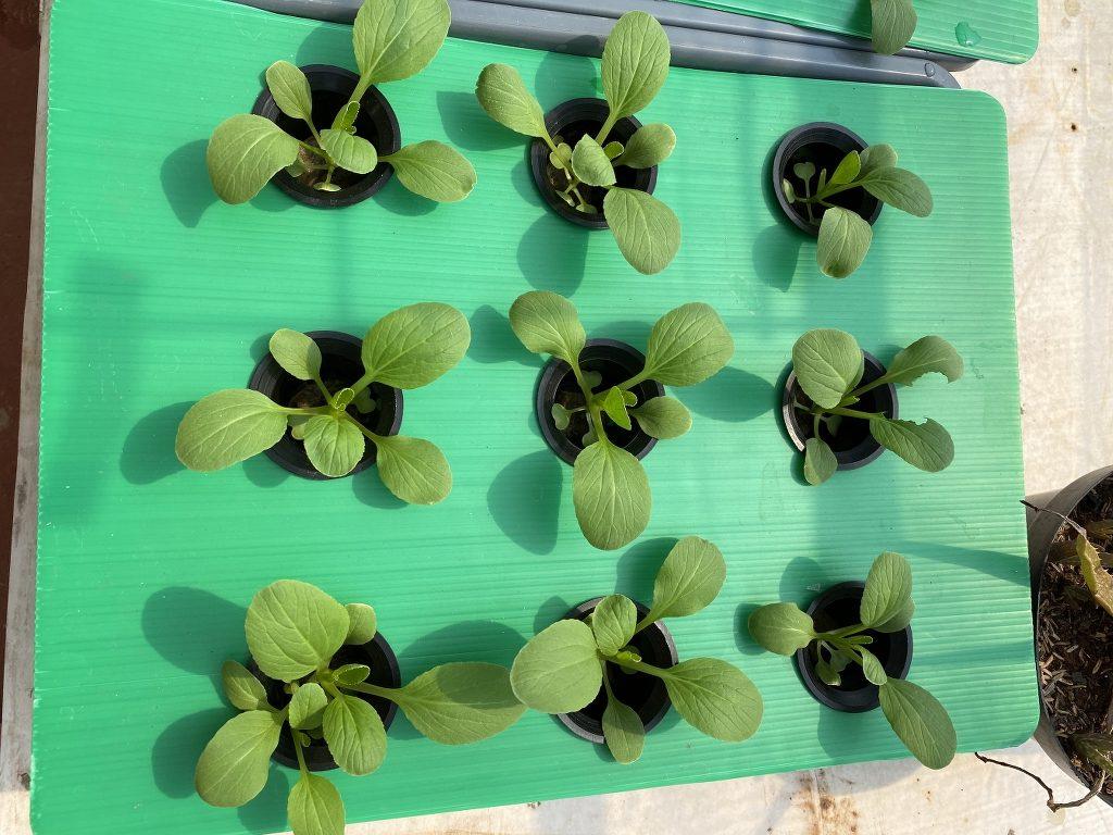 tanaman pakcoy di minggu ke 2 hidroponik