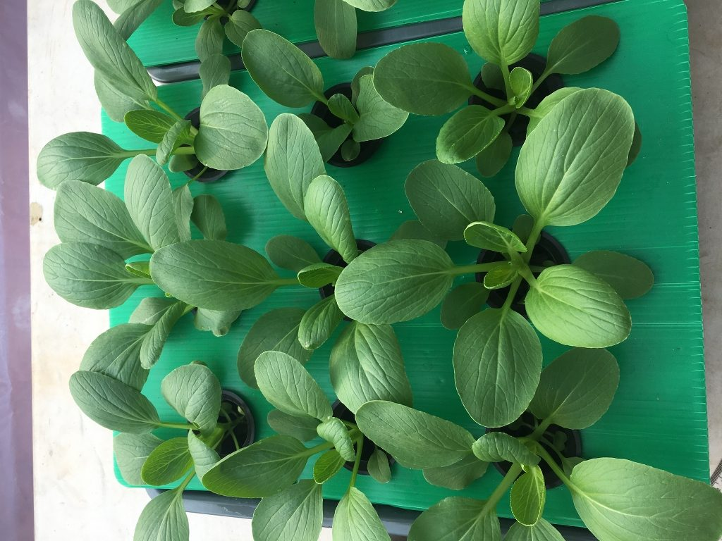 tanaman pakcoy di minggu ke 3 hidroponik