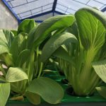 panen tanaman hidroponik pakcoy
